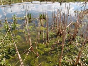 abgestorbene oberirdische Wasserpflanzen